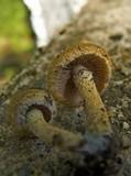 Lacrymaria glareosa image