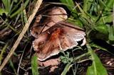 Leucoagaricus adelphicus image