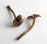 Cortinarius croceus image