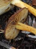 Cortinarius caryotis image