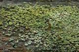 Cladonia parasitica image