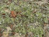 Cladonia prostrata image