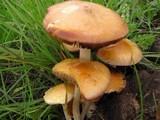 Bolbitius incarnatus image