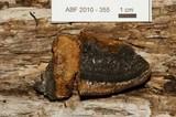 Osmoporus mexicanus image