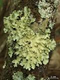 Image of Parmotrema sulphuratum