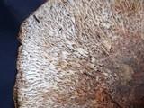 Agaricus perobscurus image