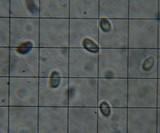 Cuphophyllus virgineus image
