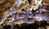 Chromelosporium coerulescens image