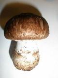Agaricus pattersoniae image