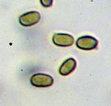 Melanophyllum haematospermum image