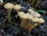 Pholiota subflammans image
