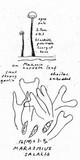Marasmius salalis image