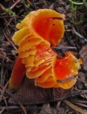 Hygrocybe punicea image
