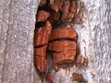 Oligoporus amarus image