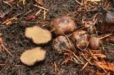 Rhizopogon parksii image