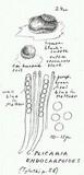 Plicaria endocarpoides image