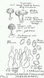 Pachylepyrium carbonicola image
