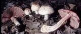 Agaricus silvaticus image