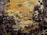 Endocronartium harknessii image