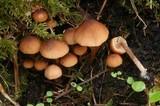 Psathyrella senex image