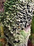 Menegazzia subsimilis image
