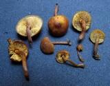 Gymnopilus josserandii image