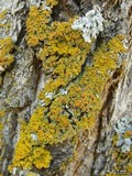 Xanthomendoza montana image