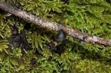 Resupinatus applicatus image