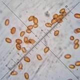 Gymnopilus dilepis image