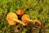 Rugosomyces chrysenteron image