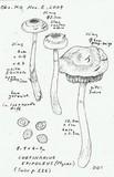 Cortinarius epipoleus image