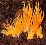 Clavulinopsis amoena image