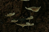 Filoboletus gracilis image