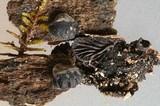 Hohenbuehelia nigra image