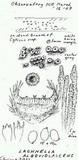 Lachnella alboviolascens image