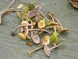 Baeospora myriadophylla image