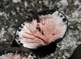Xylaria tuberoides image