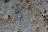 Ceriporiopsis subvermispora image