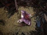 Russula clelandii image