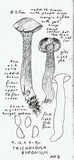 Tricholoma bufonium image