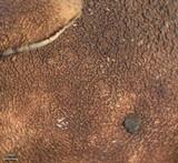 Dermatocarpon americanum image
