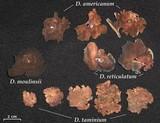 Dermatocarpon taminium image