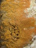 Xanthoria elegans image