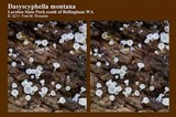 Dasyscyphella montana image