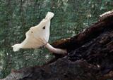 Image of Hygrocybe leucogloea