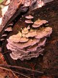 Trichaptum abietinum image