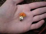 Amanita xanthocephala image