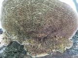 Coriolopsis gallica image