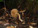 Pholiota marginella image
