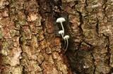 Mycena albissima image